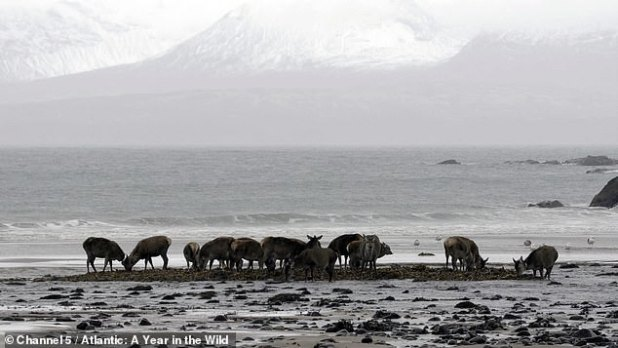 Rum Red Deer of Iceland has learned to eat seaweed during winter at the lowest tide and head to sea