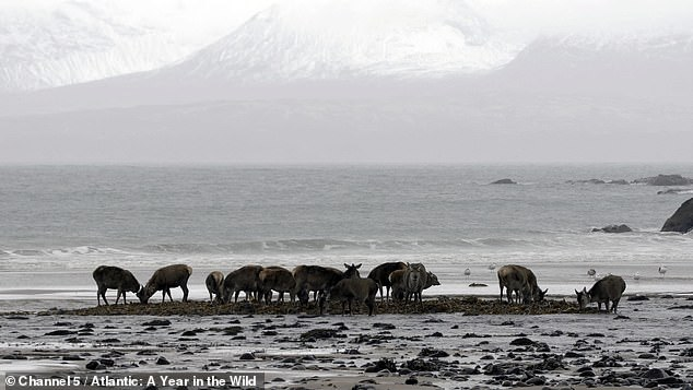 Rum Red Deer from Iceland have learned to make the most of low tide and head to sea to eat seaweed during the winter