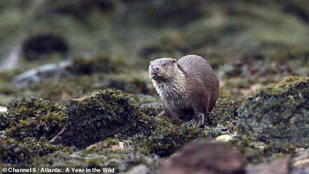 Otter puppies also have to adapt to adverse weather conditions when their parents leave them to feed.