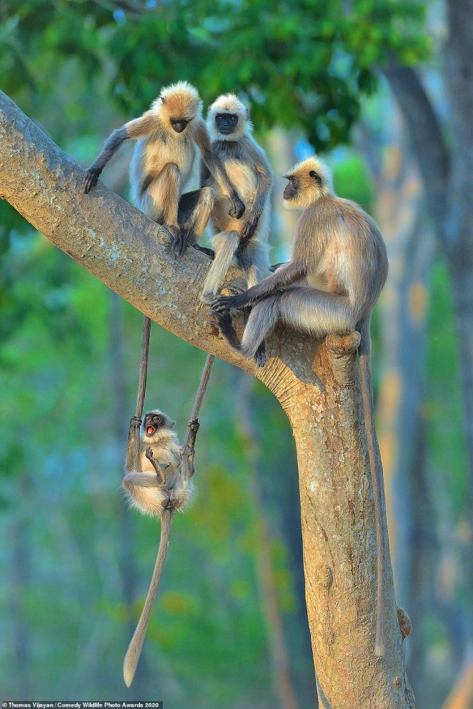 Fun for all ages! This naughty monkey seemed to be joyfully swinging from the tails of its companions who were sitting on a tree branch above - and looking less than happy as they swung on a tree inKabini, India