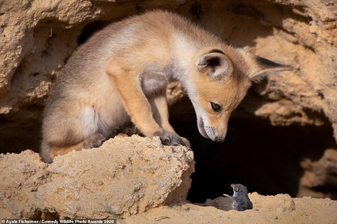 Tough Negotiations! This small fox looked to be engaging in conversation with an even tinier creature - a rodent in this snap captured in Israel