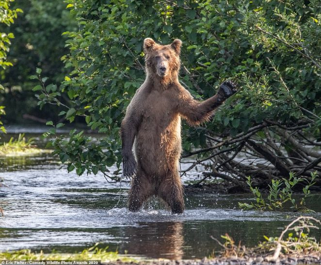 Bear with me! This bear, pictured in Alaska, appeared to be waving at whoever was taking its picture. It was seen in water standing straight on its hind legs with its left paw raised in the air