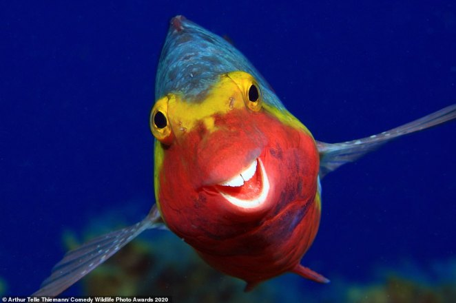 Water great smile! This colourful fish looked absolutely delighted to be photographed by appearing to give a wide grin. The animal, which looks like it could be in a Disney movie, is a European Parrotfish that was snapped off the coast of The Canary Islands, Spain
