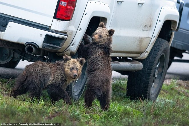 Noting to see here! These two young bears appeared as though they were seeking to remove a tire from a pick-up truck inGrand Teton National Park in Wyoming as they cheekily looked back at the camera
