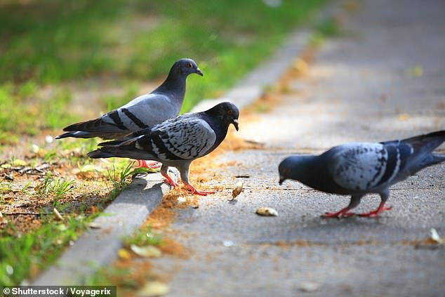 Neighbours say Ms Vlajkov attracts 600 pigeons a day, leaving their homes covered in poo