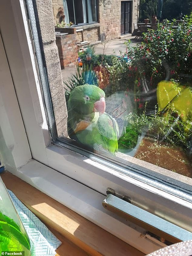 A rising trend in unwanted parrots after lockdown could be due to their noisy squawks interrupting owners working from home. Pictured: a parrot on the loose found in Clayton, Doncaster that was reported on the Lost Parrots & Birds Found Facebook group