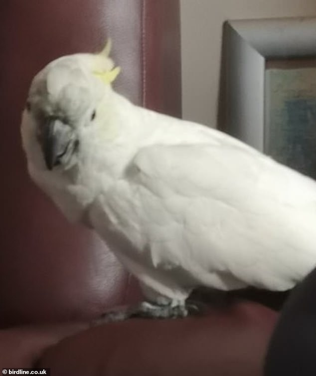 Birdline has seen a 70 per cent increase in parrots needing a new home over the past six months compared to the same period last year. Pictured: Slipper, 84, a cockatoo who prefers to be cared for by a man, isstill waiting to be adopted
