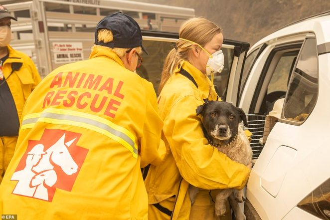 North Valley Disaster Group animal rescuer volunteer moves a stray dog to a transport carrier after being found in an area burned by the Bear Fire in California