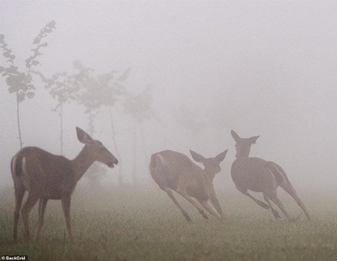 A heavy layer of wildfire smoke hangs in the air as deer forage on a farm near Elkton in rural western Oregon on Monday