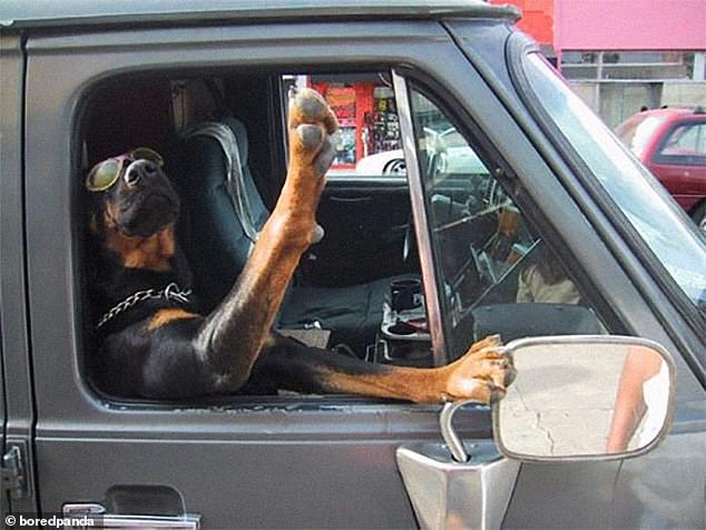 Snoop dog: This pup, dressed in a pair of sunglasses and a chain collar, looked like he was trying to high five passersby from his truck as he leaned out the window in an unknown location