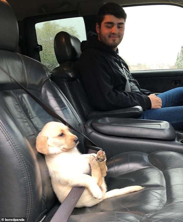 Safety first: This tiny retriever puppy made sure he was securely strapped in for his car journey and even kicked back with his paws in the air, getting relaxed for the trip. Pictured in an unknown location