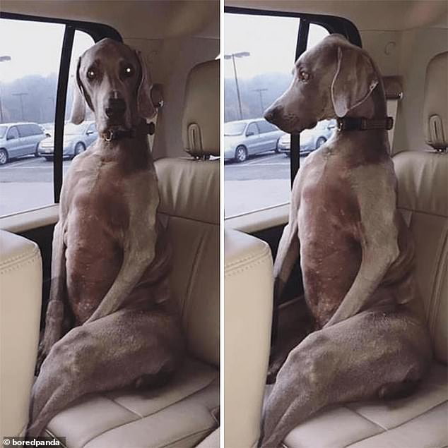 Majestic: This grey haired dog looked positively regal as he sat like his human owners on the backseat of their car waiting to be taken to their destination. Pictured in an unknown location