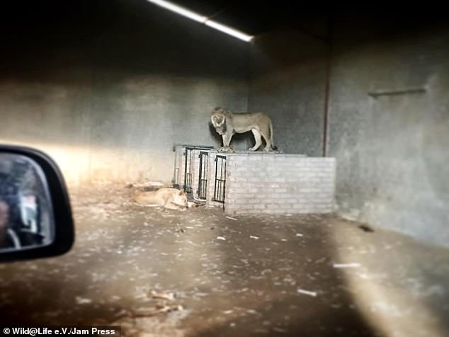 The lions when they were found on a squalid farm in South Africa, pictured above