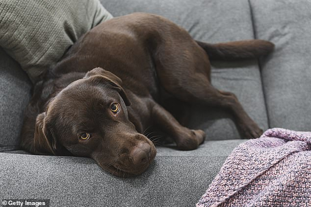 Spending increasing amounts of time indoors, sitting on sofas and eating human food is causing our pampered pets to suffer allergies. Labradors, pictures, areparticularly susceptible