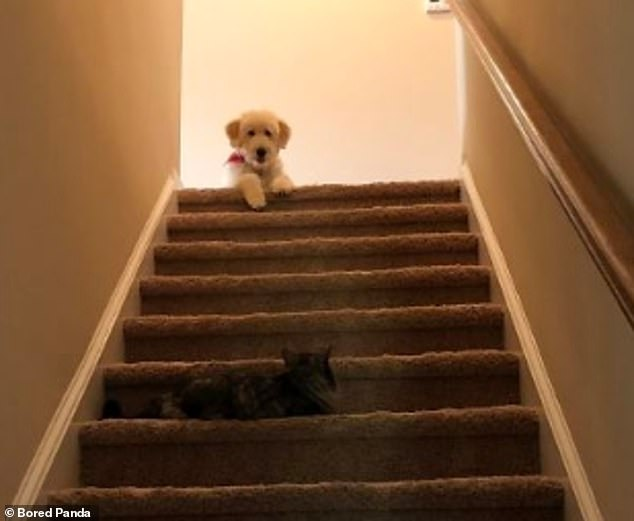 You shall not pass! This feline refuses tobudge for the adorable pooch waiting to run down the stairs in this amusing photograph