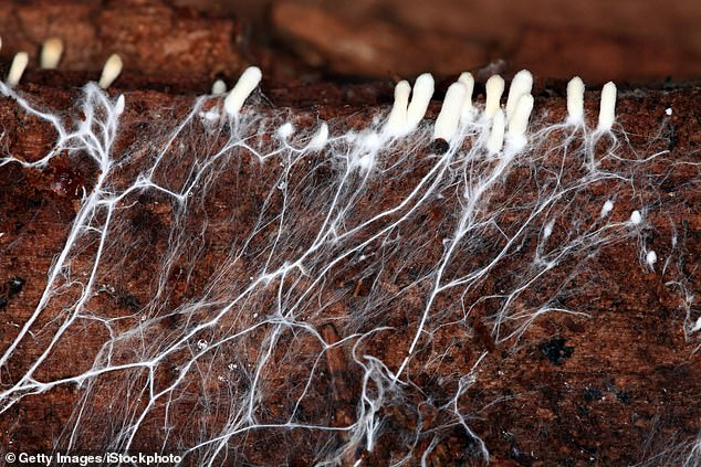 Mycelium can live to be thousands of years old and can be microscopic or grow to thousands of acres.'It's constantly looking for waste materials to convert into nutrients for the environment,' says Hendrikx. 'It does the same with toxic substances, including oil, plastic and metal'