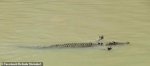 A crocodile has been captured swimming down Cahills Crossing in the Northern Territory with its feet outstretched