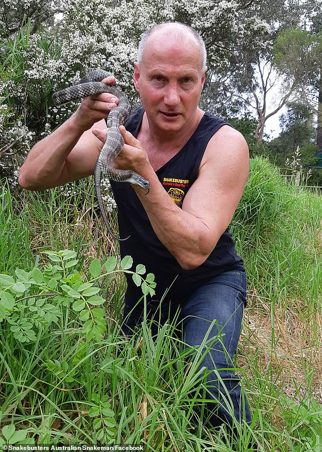 Mr Hoser (pictured) said he has received 30 per cent more calls for snake sightings compared with this time last year due to warm weather and people being home during pandemic