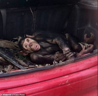 Chimpanzee is Rescued From Boot of a Car After Being Caught in a Snare and Beaten With an Iron Pipe by Angolan Traffickers – Only to Lose His Fight for Life 11 Days Later
