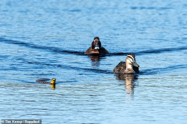 Mr Kemp said he initially thought the ducks were about to become the snake's next meal before seeing them lead the reptile back to shore