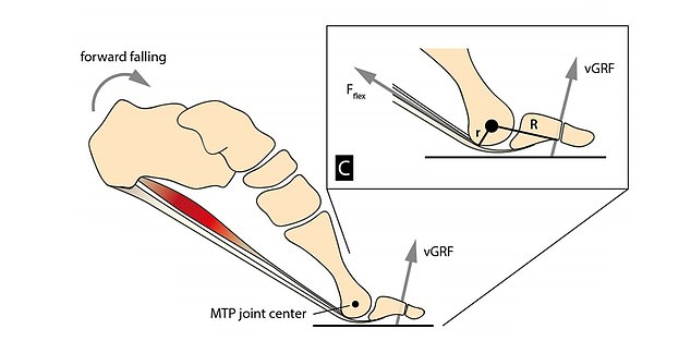 Image showing propulsive force generated by the metatarsophalangeal or MTP joints and ground reaction force (vGRF)