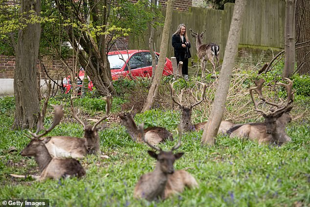 Experts say the environment in areas such as Thetford Forest, Norfolk, and the New Forest in Hampshire are particularly at risk because of the rising deer population, and have called for a campaign to promote eating more venison. Here deer are pictured inDagnam Park as they rest and graze in a patch of woodland outside homes on a housing estate in Harold Hill, near Romford (file photo).