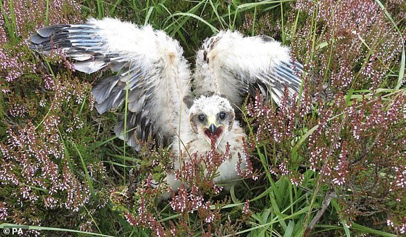 A hen harrier chick successfully hatched inAngus Glens, Scotland, during lockdown.