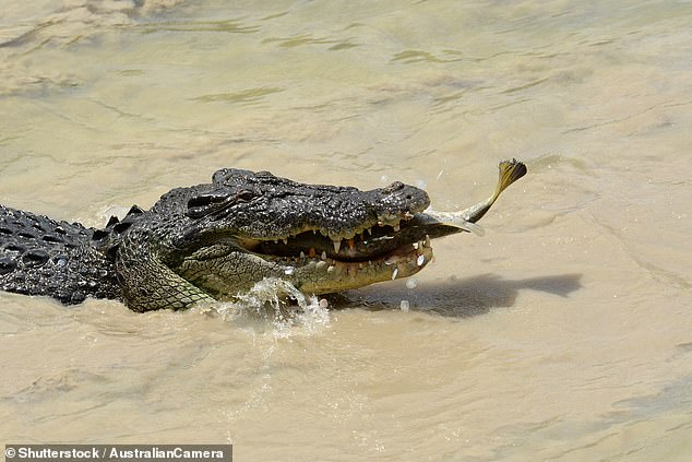Madolline won't be swimming at Christmas. Every Northern Territory river is infested with saltwater crocodiles, such as this monster snapped in the act of catching a barramundi at Cahill's Crossing in Kakadu National Park. Great for nature shots though