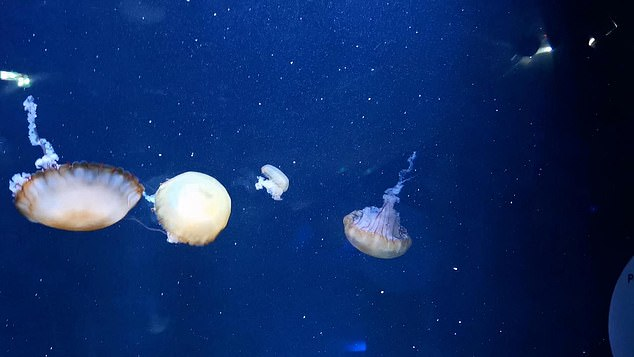 Replacing fish with other types of ocean creatures such as jellyfish (pictured) on takeaway menus could help save threatened species, according to a team of scientists