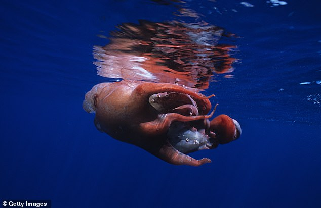 Despite its popular name, the Haliphron does have eight tentacles. Males appear to only have seven but an additional one, called a hectocotylus, is tucked inside a sac near its eye and only comes out to help with fertilization