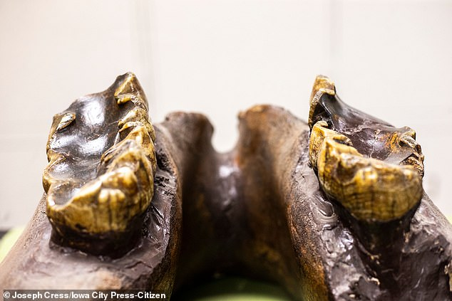 It is thought to have belonged to a young member of the prehistoric animal that may have stood up to seven foot tall and lived in ancient Iowa around 34,000 years ago