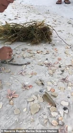 A teacher in a video on the Navarre Beach Marine Science Station Facebook said this was the first time she has seen anything like this, but notes it does happen
