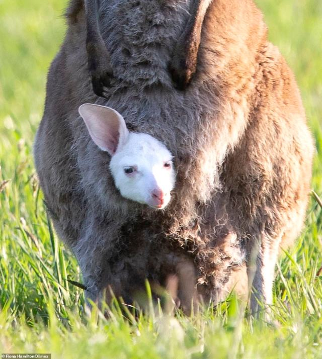 The albino kangaroo pops its head out of his mother's pouch on the Mornington Peninsula on September 15