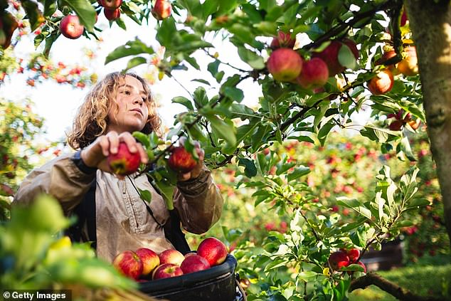 Two popular apple brands from Western Australia have been named the healthiest fruits to eat in the world (stock image)