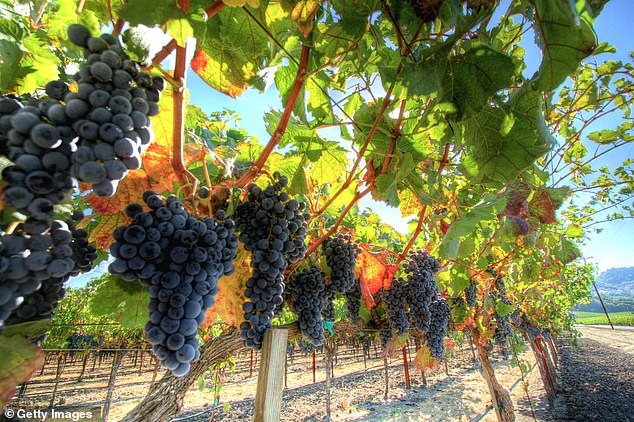 As wood burns during these fires, it releases aromatic compounds that permeate the grape's skin and bonds with sugars inside. Because the blazes were so intense this season, experts say consumers can expect to sip on smoky flavored wine for years to come