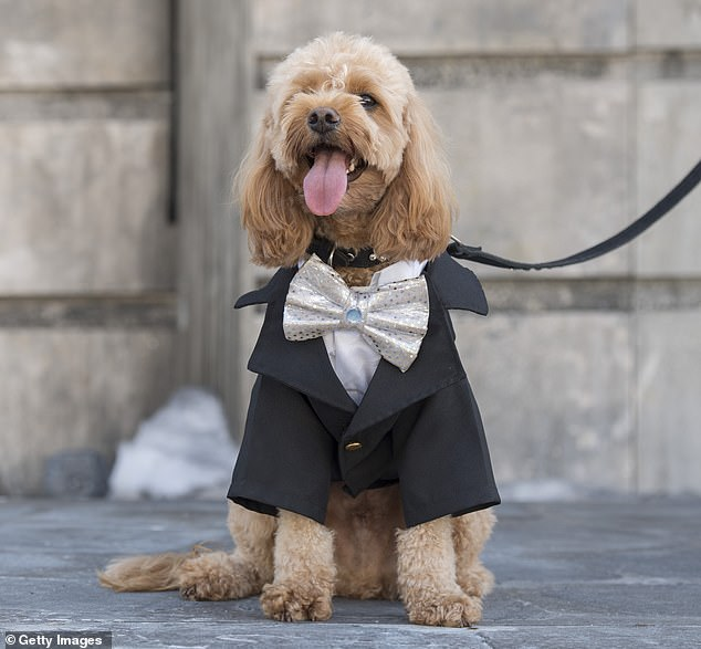 The cavoodle - a hybridof a cavalier King Charles spaniel and a toy poodle (pictured in Sydney on April 8, 2020) - was Australia's favourite breed