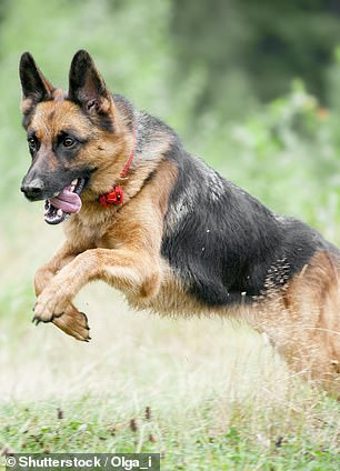 German shepherds are a playful breed, likely due to their close relationship with humans over time