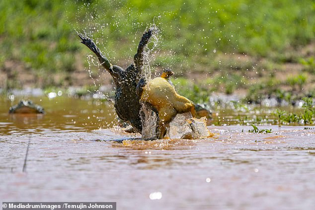 The bullfrog pulls his opponent off his feet and send him flying through the air as the bair battle it out