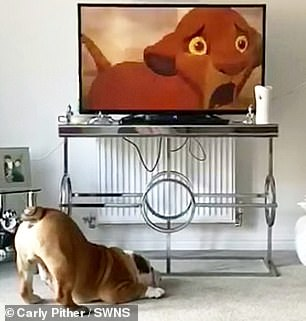 He jumps and hops around 'like a bunny' as well as barking at the TV