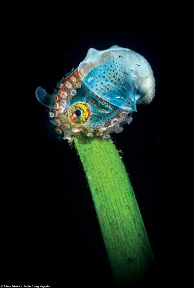 This image, of a juvenile wunderpus - a type of octopus - was taken by Tobias Friedrich inAnilao, Philippines. It came first in the Compact Camera category and shows the wunderpus sitting on a palm leaf