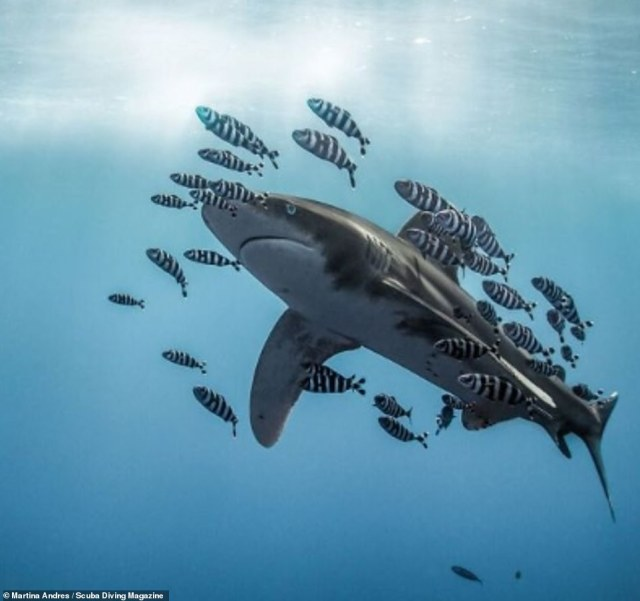 This photo of a whitetip shark surrounded by smaller zebra fish was taken in the Red Sea by Martina Andres. She said: 'As a diver, you will never forget your first big shark. I felt eternally grateful to encounter this beautiful oceanic whitetip shark in the Red Sea. As we neared the very last minutes of our dive, she and her 'entourage' slowly circled our group, peacefully looking at every single one of us, before they took off into the blue again'. The image received an honourable mention