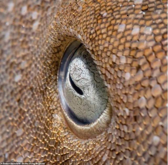 This image was taken by Robert Stansfield in Banco Chinchorro, Mexico, in November 2019. It shows the close-up of a nurse shark's eye which Stansfield took when he was there to photograph garden eels and the shark approached him. The photo won third place in the Macro category