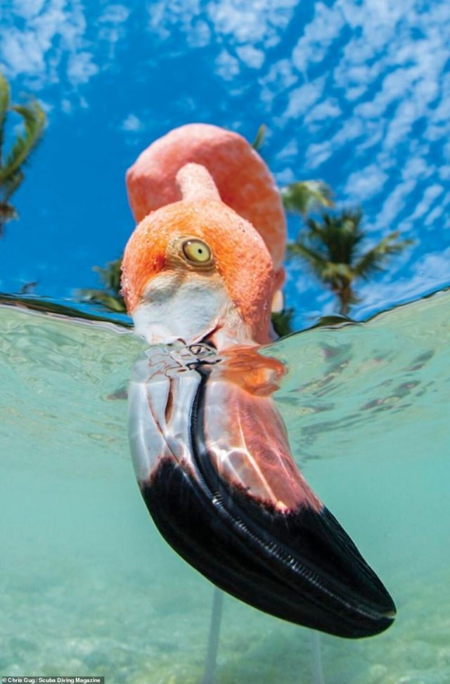 This image of a flamingo feeding in the sandy mud off the island of Bonaire, in the Caribbean sea, was taken byChris Gug. He said one brave flamingo approached his camera lense to begin 'slurping' up silt which had landed on it. The photo received an honourable mention