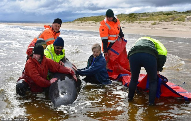 Rescue crews have also been faced with the challenge of disposing of the carcasses and have trialled towing the dead whales out to sea before cutting them loose (rescue team pictured with a beached whale on Friday)