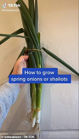 On her TikTok page, Lottie has also shared other helpful videos including how to grow spring onions or shallots