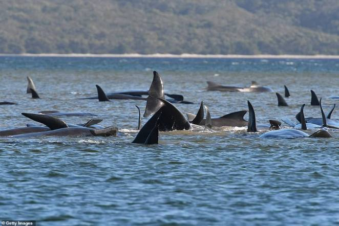 Whale rescuers have saved another pilot whale from Macquarie Harbour (pictured) in Tasmania after the mass stranding