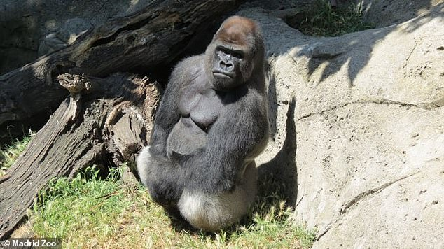 The woman, 46, was left with two broken arms and chest and head injuries after the attack at the Madrid Zoo this morning. Pictured: Malabo the gorilla who attacked her