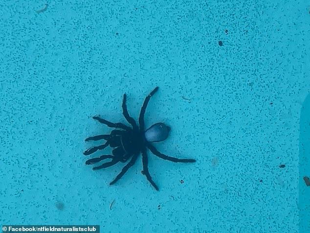 Lauren Merritt spotted up to 20 mouse spiders lying in her pool in Darwin last week