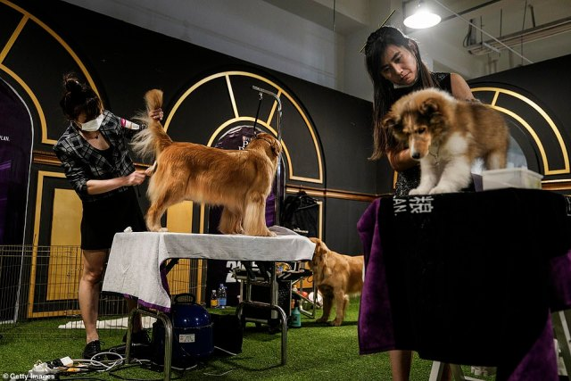 Dogs are seen being trimmed during the National General Kennel Club branch Competition on September 27
