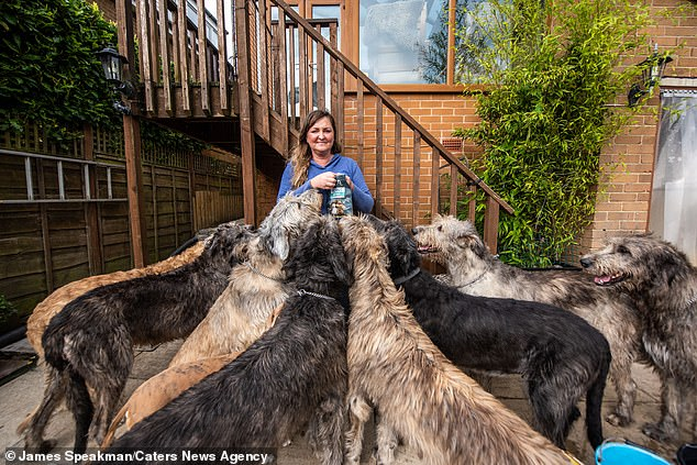 Claire trying to distribute treats to her eager pack of Wolfhounds. Claire invests in chicken wings and chicken thighs as treats for her pets